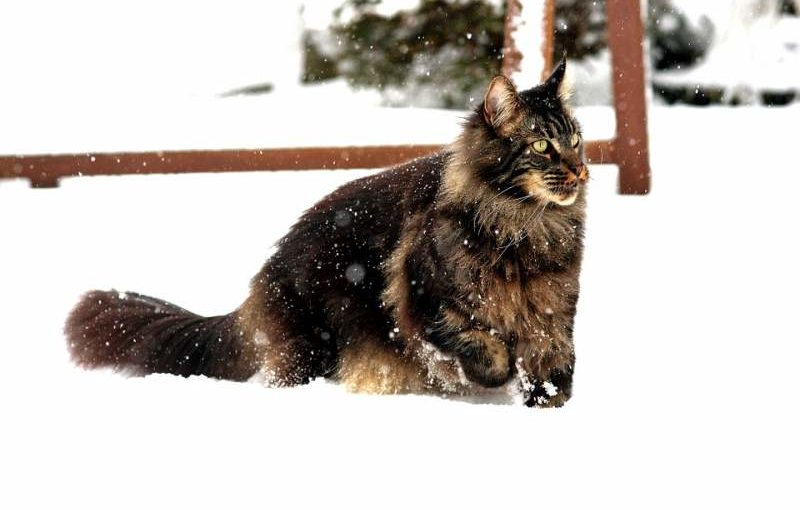 Maincoon-Stammbaum